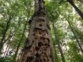 Vieil arbre mort sur pied
