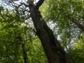 Chêne sec sur pied