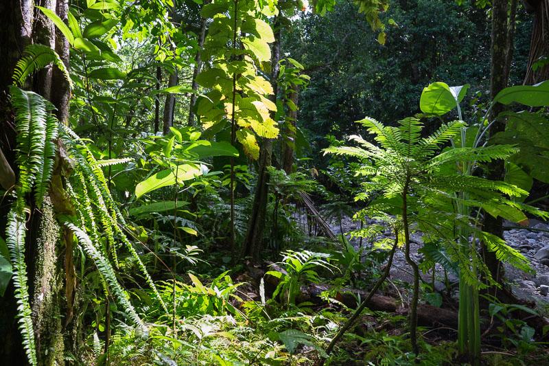 Trace de la rivière Quiock, en forêt tropicale dense. Présence de fougère bâtarde (Phyllanthus mimosoides).