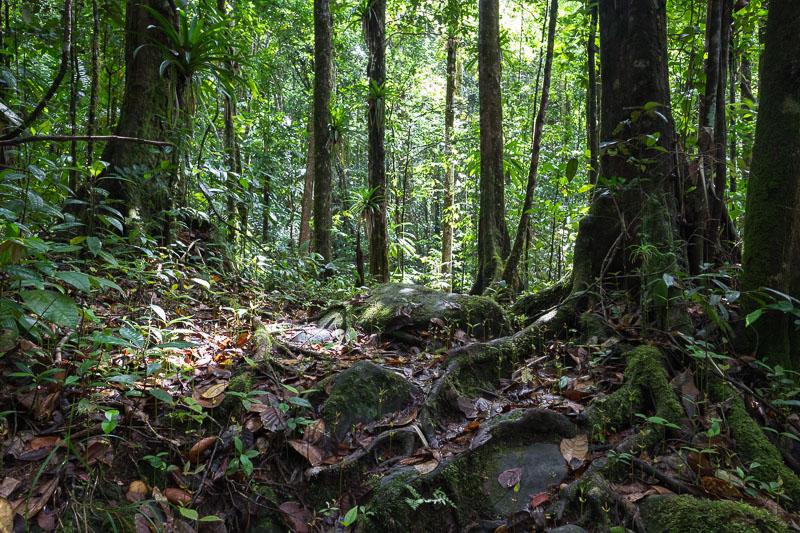 Trace de la rivière Quiock, Sous-bois en forêt tropicale dense