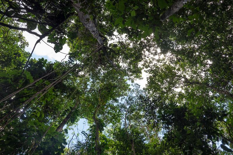 Descente vers le Saut de la Lézarde, canopée de forêt tropicale.
