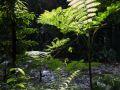 Fougère du genre Cyathea (Cyathea muricata ou C. arborea ?).