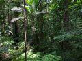 Trace de la rivière Quiock, Palmiste montagne (Prestoea montana ?) dans une trouée.