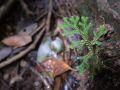 Trace de la rivière Quiock, Selaginella substipitata dans le sous-bois
