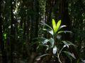 Ailes à mouches (Asplunidia rigida) dans le sous-bois