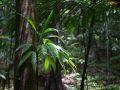 Chemin vers le Trou à Diable, Ailes à mouches (Asplunidia rigida), espèce épiphyte courante.
