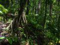 Chemin vers le Trou à Diable, arbre à racines échasses