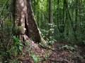 Trace de la rivière Quiock, très gros arbre à contreforts en bordure de sentier