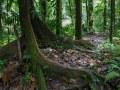 Trace de la rivière Quiock, arbre à contreforts