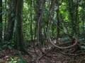 Trace de la rivière Quiock, lianes au pied d'un arbre