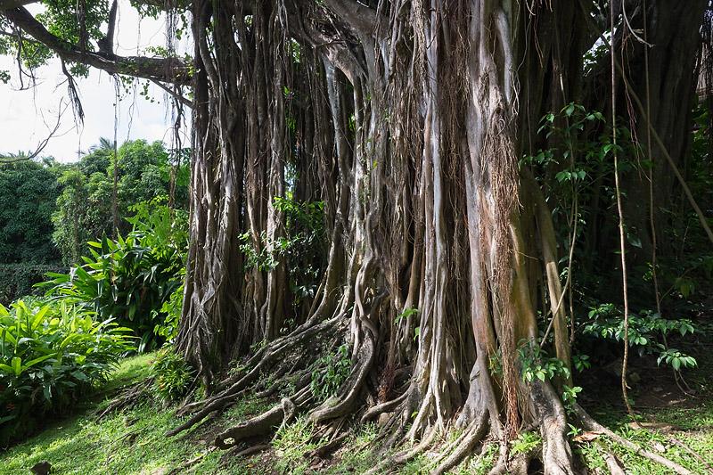 Il est originaire de l'Inde. Il doit son nom à la caste brahamique des marchands, les banians, qui y faisait commerce à l'ombre de ces racines. Le banian commence comme épiphite d'un autre arbre. Une graine emportée par le vent ou les oiseaux phagocyte un arbre, des branches poussent horizontalement et retombent en racine qui se replantent. Il étrangle ensuite son hôte.