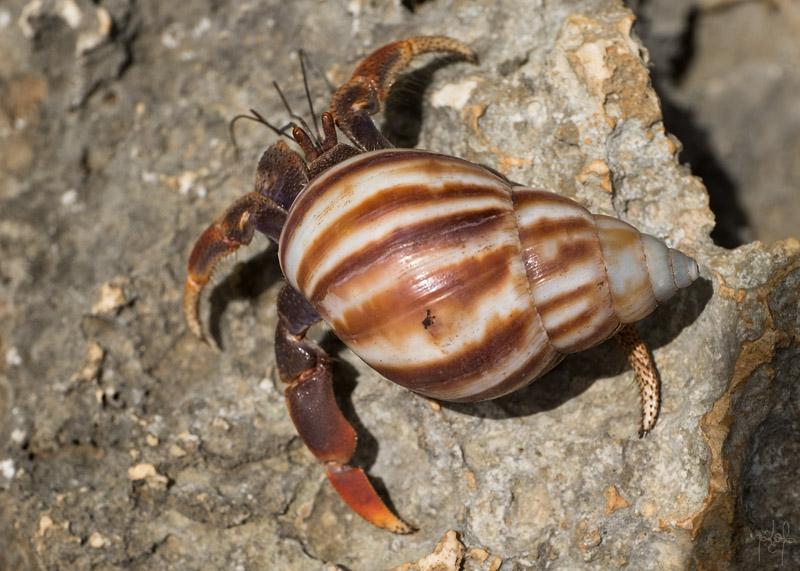 Bernard-l'Hermite Terrestre (Coenobita clypeatus).