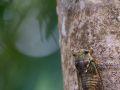 Cygale (Fidicina mannifera)