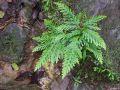 Saginella flabellata sur un rocher
