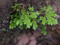 Selaginella substipitata