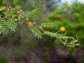 Pompon jaune (ou acacia bord de mer ou acacia savane), (Acacia tortuosa)