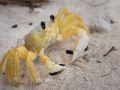 Crabe mal Zoreille (Ocypode quadrata).