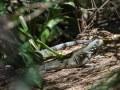 Cette espèce invasive provoque la disparition de son cousin endémique, l'iguane des Petites Antilles (Iguana delicatissima)