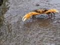 Cirique de rivière (Guinotia dentata, Latreille, 1825)