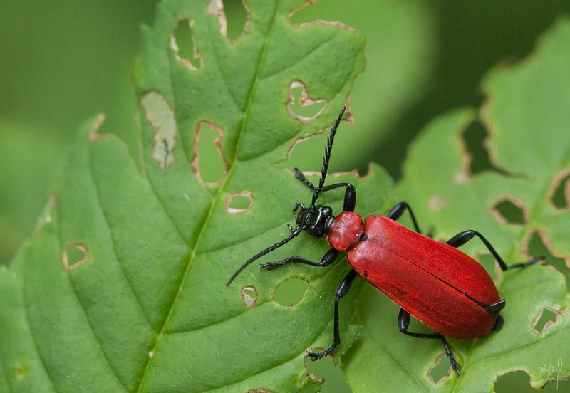 Cardinal (Pyrochroa coccinea)