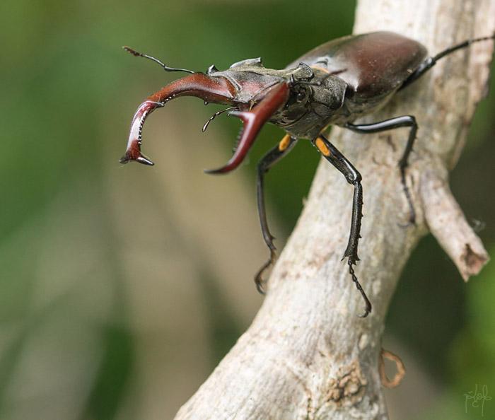 Lucane cerf-volant mâle (Lucanus cervus)