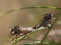 Accouplement de mouches