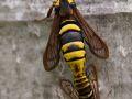 Papillon frelon (Sesia apiformis)