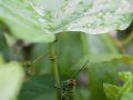 Criquet sous une plante