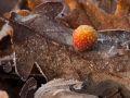 Cynips des galles-cerises du chêne (Cynips quercusfolii)