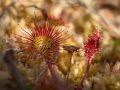 Feuilles de drosera à feuilles rondes (Drosera rotundifolia)