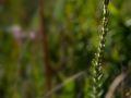Bruyère à quatre angles (Erica tetralix). Les landes et les tourbières couvrent de grandes surfaces dans le Connemara. Cela permet d'y retrouver bon nombre de bruyères.
