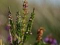 Bruyère cendrée (Erica cinerea)
