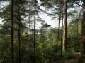 Forêts dans le parc national de Killarney. Plantations résineuses (pin sylvestre, douglas...) et feuillus résiduels. Le rhododendron × ponticum en sous-étage est un arbuste invasif.