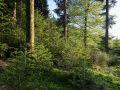 Régénération naturelle de douglas (avec quelques épicéas et sapins) sous un peuplement de sapin pectiné.