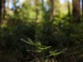 Semis de sapin sous futaie de douglas