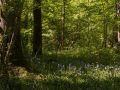 Sous-bois à Jacinthe des bois (Hyacinthoides non-scripta)