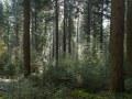 Régénération naturelle de douglas sous un vieux peuplement (futaie adulte)