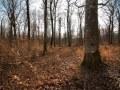 Régénération naturelle sous un gros bois de hêtre