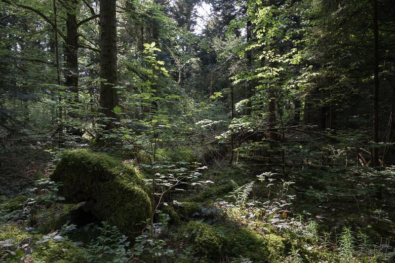 Très gros bois mort au sol dans la réserve biologique de la Glacière.