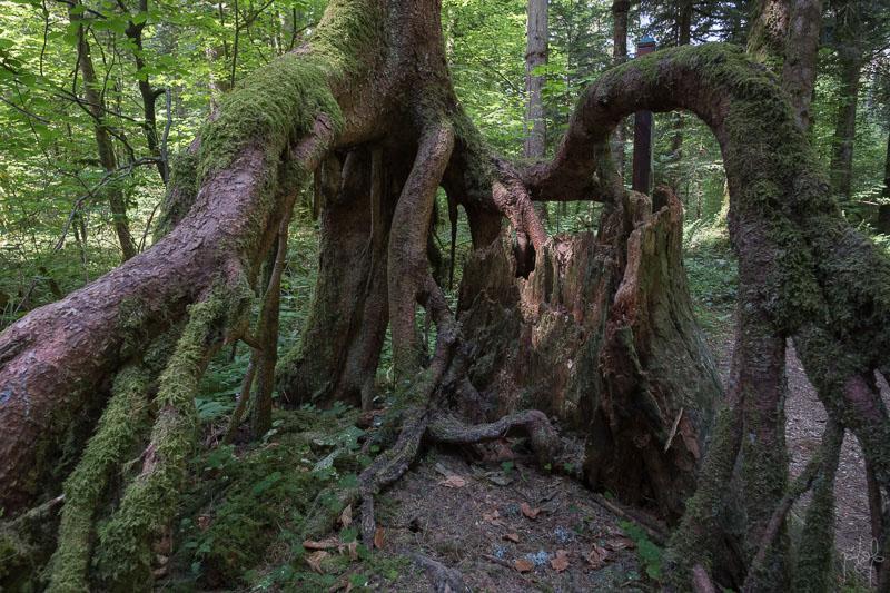 Système racinaire d'un petit bois de sapin s'étant développé sur une souche de gros bois en décomposition