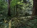 Restes de houppier dans une sapinière de montagne (réserve de la Glacière, forêt de la Joux) en libre évolution