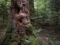 Gros bois de sapin mort sur pied dans la réserve biologique de la Glacière. Oxalide et fougère dilatée y poussent en épiphytes.