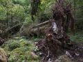 Chablis d'un gros bois de sapin montrant le système racinaire et les calcaires durs jurassiques
