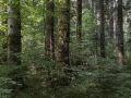 Bouquet de gros bois de sapin dans la réserve biologique de la Glacière.