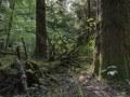 Sapin mort au sol dans une sapinière-hêtraie en libre évolution