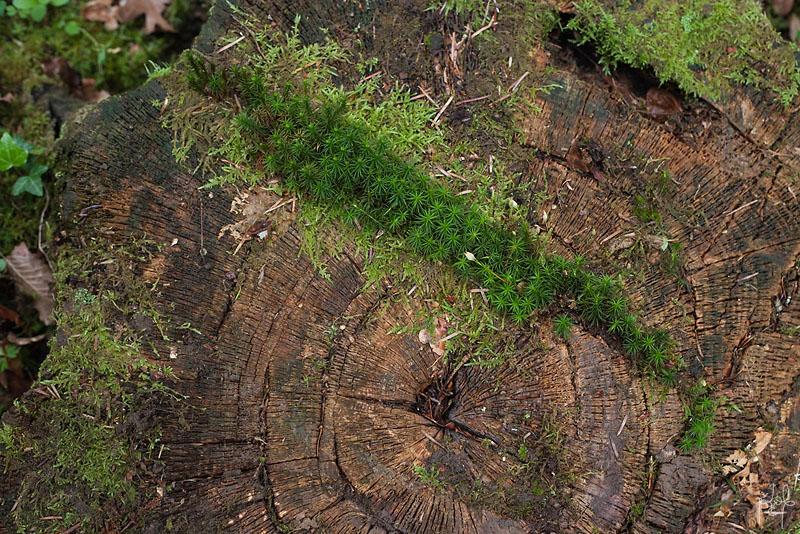 Polytric élégant (Polytrichum formosum) sur une souche