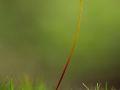 Capsule de Polytric élégant (Polytrichum formosum)