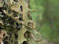 Lichen pulmonaire (Lobaria pulmonaria)