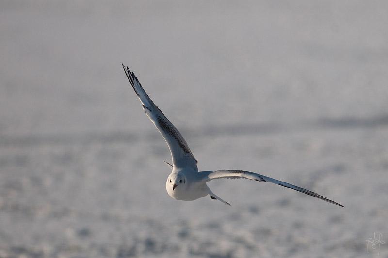 Mouette en vol (Larus sp.)