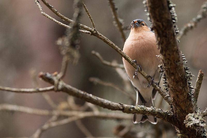 Pinson des arbres mâle (Fringilla cœlebs)
